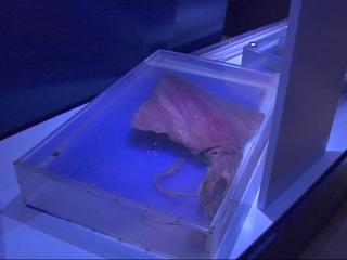 Calamar de la exposición del Centro del Calamar Gigante de Luarca