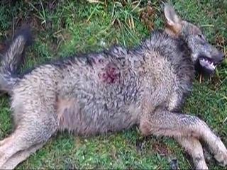 Lobo abatido