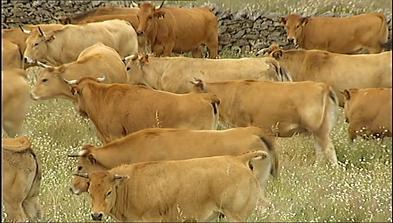 Vacas de 'Asturiana de los Valles' en Extremadura