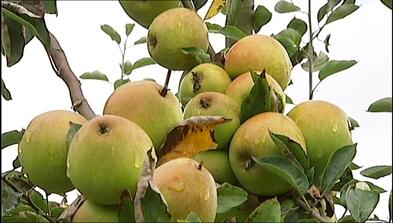 Variedad de manzana