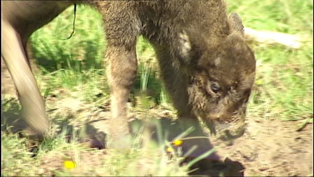 Primer ejemplar de bisonte europeo nacido en Asturias después de 10.000 años