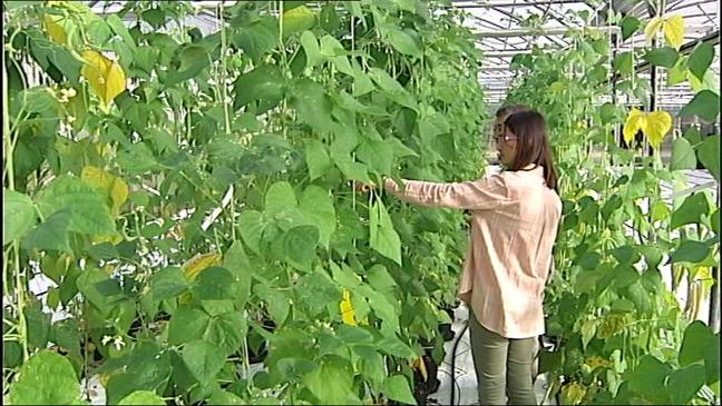 El Serida elabora el monográfico 'Orientaciones para el cultivo de la faba'
