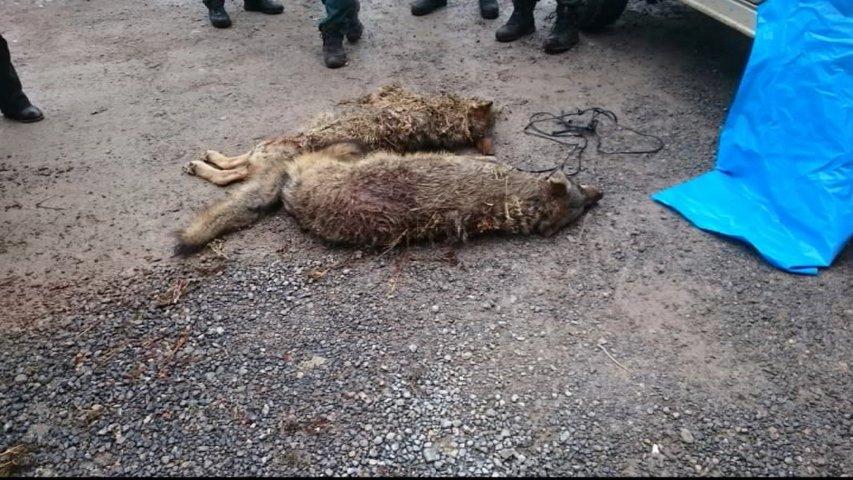 Lobos hallados muertos en Arriondas