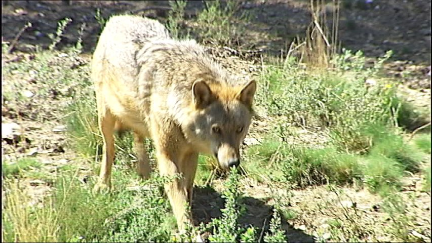 Lobo en el centro de Robledo de Sanabria, Zamora