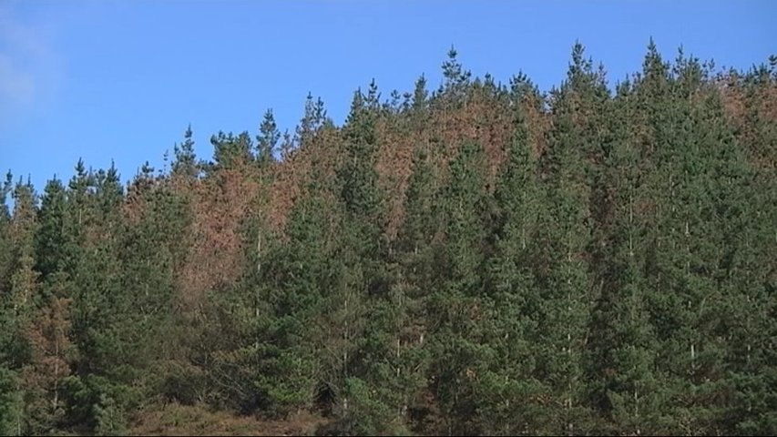El Principado declarará en cuarentena los montes de pino radiata afectados por la 'banda marrón'