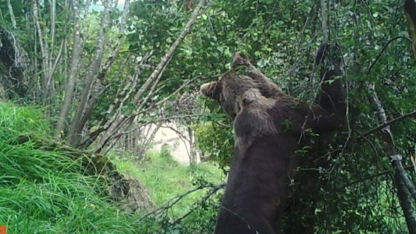 Un estudio del CSIC y la Fundación Oso destaca el valor medioambiental del oso